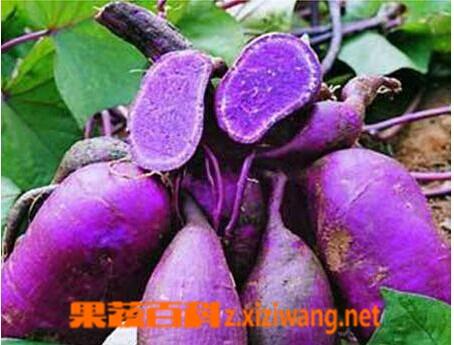 果蔬百科黑薯